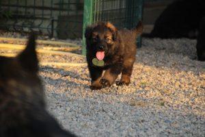 élevage-de-berger-allemand-comme-chiens-et-loups0012