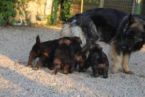 élevage-de-berger-allemand-comme-chiens-et-loups0013