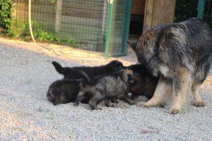 élevage-de-berger-allemand-comme-chiens-et-loups0014