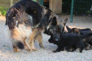 élevage-de-berger-allemand-comme-chiens-et-loups0015