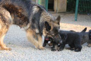 élevage-de-berger-allemand-comme-chiens-et-loups0016