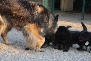 élevage-de-berger-allemand-comme-chiens-et-loups0017