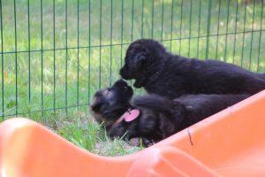 élevage-de-berger-allemand-comme-chiens-et-loups0018