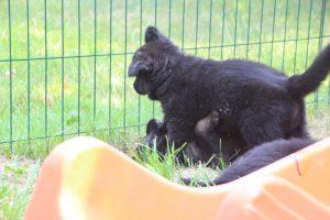 élevage-de-berger-allemand-comme-chiens-et-loups0019