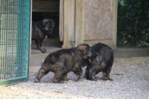élevage-de-berger-allemand-comme-chiens-et-loups0020