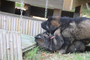 élevage-de-berger-allemand-comme-chiens-et-loups0021