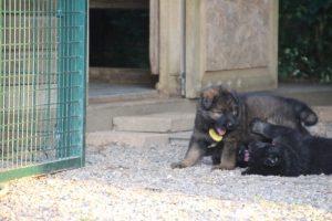 élevage-de-berger-allemand-comme-chiens-et-loups0023