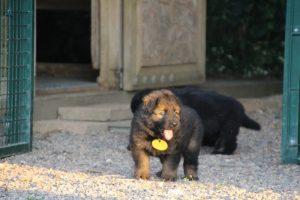 élevage-de-berger-allemand-comme-chiens-et-loups0024