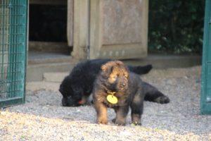 élevage-de-berger-allemand-comme-chiens-et-loups0025