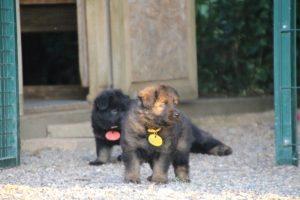 élevage-de-berger-allemand-comme-chiens-et-loups0026