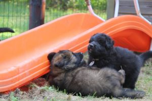 élevage-de-berger-allemand-comme-chiens-et-loups0027