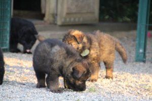 élevage-de-berger-allemand-comme-chiens-et-loups0028