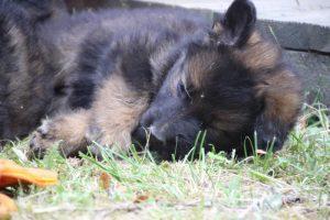 élevage-de-berger-allemand-comme-chiens-et-loups0029
