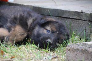 élevage-de-berger-allemand-comme-chiens-et-loups0030
