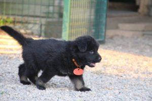 élevage-de-berger-allemand-comme-chiens-et-loups0031