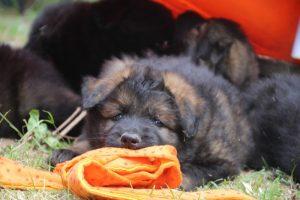 élevage-de-berger-allemand-comme-chiens-et-loups0032
