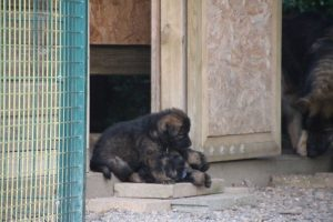 élevage-de-berger-allemand-comme-chiens-et-loups0033