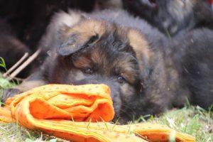 élevage-de-berger-allemand-comme-chiens-et-loups0034