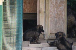 élevage-de-berger-allemand-comme-chiens-et-loups0035