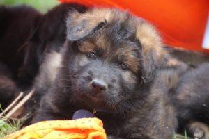 élevage-de-berger-allemand-comme-chiens-et-loups0036