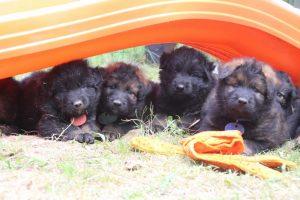 élevage-de-berger-allemand-comme-chiens-et-loups0038