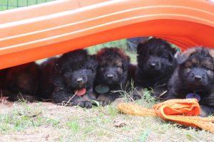 élevage-de-berger-allemand-comme-chiens-et-loups0039