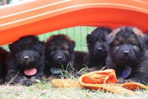 élevage-de-berger-allemand-comme-chiens-et-loups0043