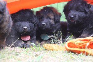 élevage-de-berger-allemand-comme-chiens-et-loups0046