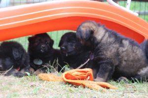 élevage-de-berger-allemand-comme-chiens-et-loups0047