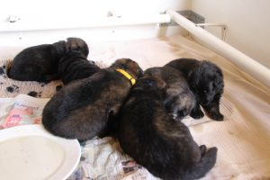 IMG_9836comme-chiens-et-loups-berger-allemand-poil-long