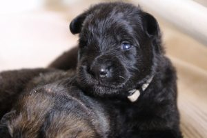 IMG_9837comme-chiens-et-loups-berger-allemand-poil-long