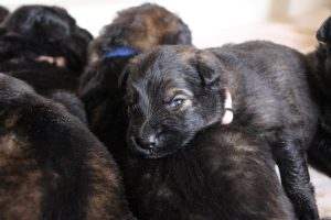 IMG_9843comme-chiens-et-loups-berger-allemand-poil-long