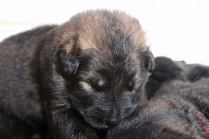 IMG_9855comme-chiens-et-loups-berger-allemand-poil-long