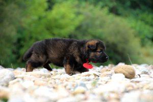 altdeutcher-schaferhund0020