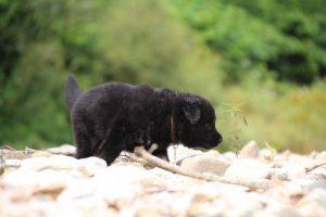 altdeutcher-schaferhund0035