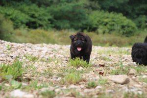 altdeutcher-schaferhund0049
