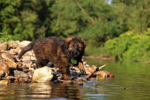 altdeutsche-shaferhunde-comme-chiens-et-loups0004