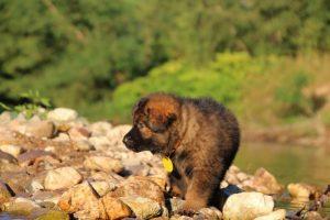 altdeutsche-shaferhunde-comme-chiens-et-loups0006