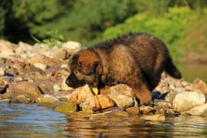 altdeutsche-shaferhunde-comme-chiens-et-loups0007