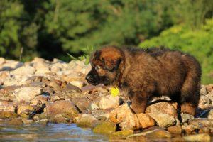 altdeutsche-shaferhunde-comme-chiens-et-loups0008