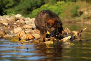 altdeutsche-shaferhunde-comme-chiens-et-loups0009