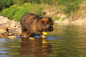 altdeutsche-shaferhunde-comme-chiens-et-loups0010