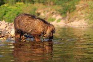 altdeutsche-shaferhunde-comme-chiens-et-loups0011