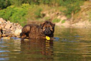 altdeutsche-shaferhunde-comme-chiens-et-loups0013