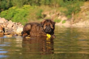 altdeutsche-shaferhunde-comme-chiens-et-loups0014