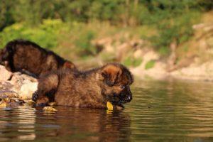 altdeutsche-shaferhunde-comme-chiens-et-loups0016