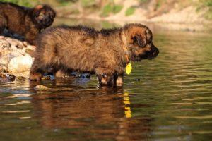 altdeutsche-shaferhunde-comme-chiens-et-loups0017