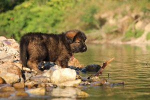 altdeutsche-shaferhunde-comme-chiens-et-loups0018