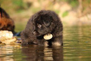 altdeutsche-shaferhunde-comme-chiens-et-loups0020