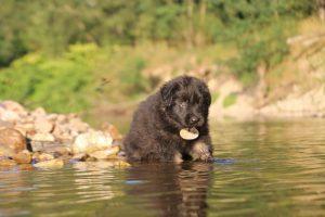 altdeutsche-shaferhunde-comme-chiens-et-loups0023